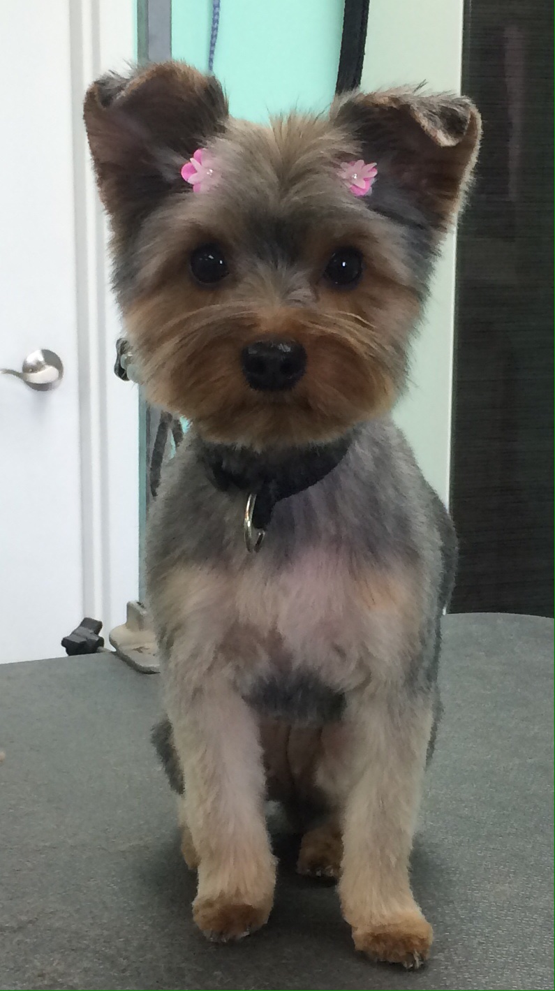 Yorkie With Bows In Hair Groomed At The Upscale Tail